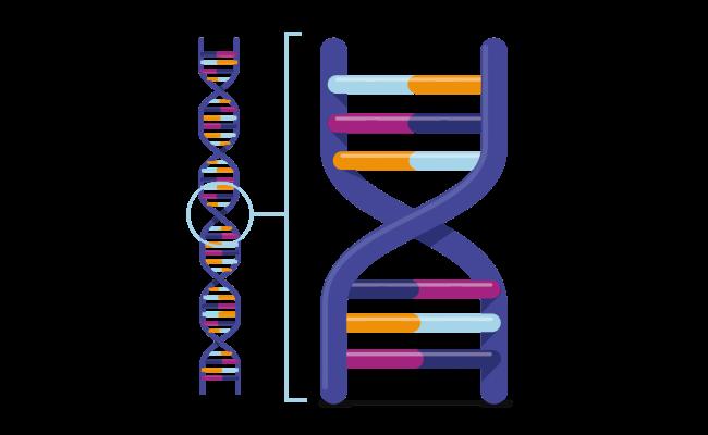 genetiche potentie spiermassa opbouwen dna