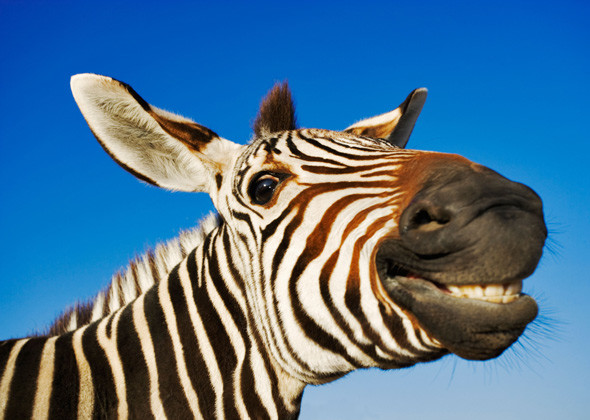 tips tegen stress lachende zebra