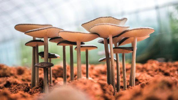 paddenstoelen geneeskrachtig tips